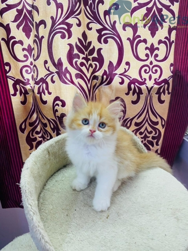 Persian 3months old Male kitten available