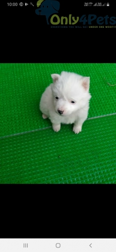 Pemeriam male pup available  Top quality ✅