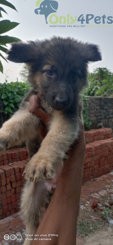 gsd female puppy available