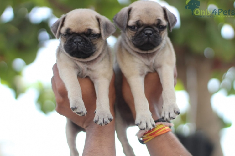 Super Quality Pug Puppy Available