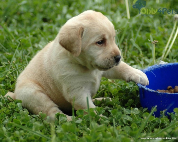 Labrador heavy bone puppies for sale Top quality in low price...k