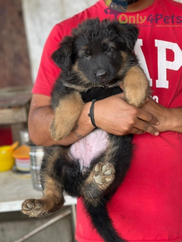 Top quality gsd pair available