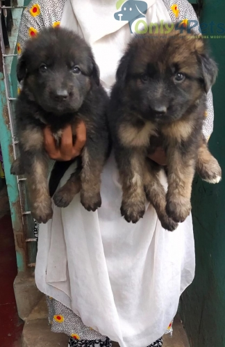 Good quality .... German Shepherd....male and female puppy