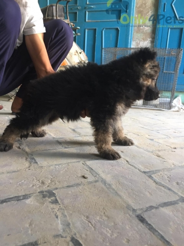 Gsd double coat male available