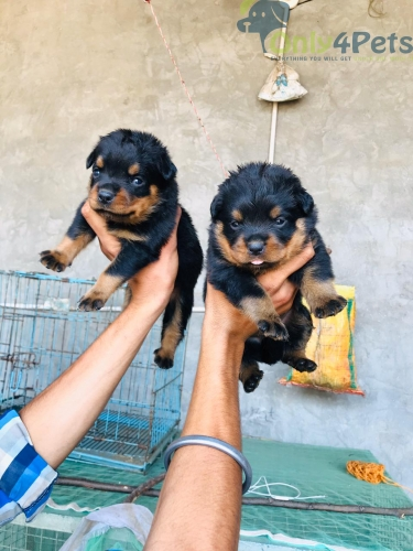 Rottweiler female sale top quality