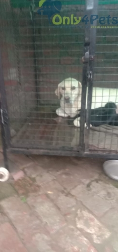 labrador male and female puppy for sale