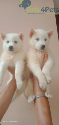 Available husky pair Snow White blue eyes  Show quality l
