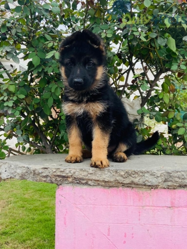 gsd Female for sale top quality with kci