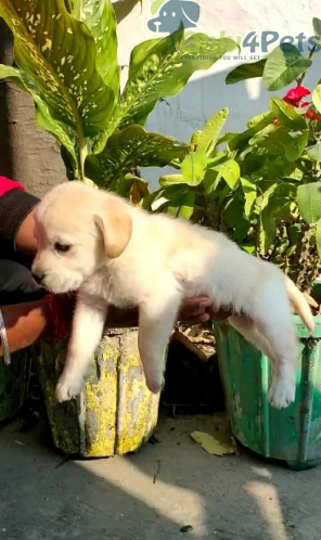 Labra male and female pappy for sale
