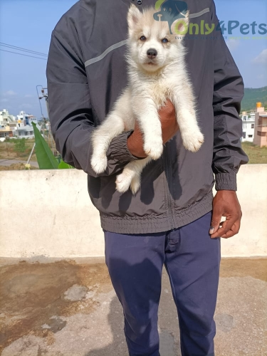 husky for sale