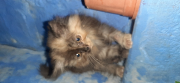 persian kittens for sell