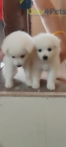2 male puppy available