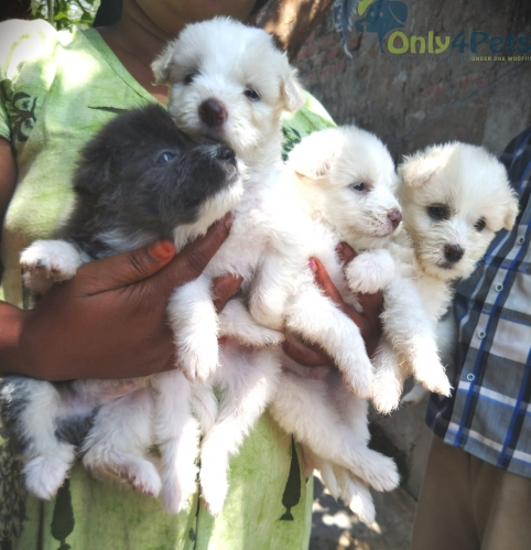 LHASAAPSO ????????FULL QUALITY PUPPIES AVAILABLE