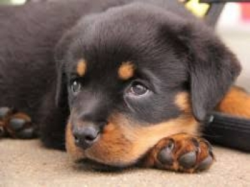 Rottweiler puppy of pure breed for sale