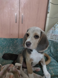 Beagle 3 months  puppy for sale