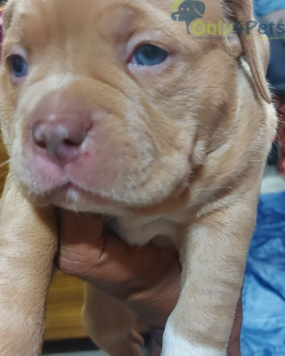 Top quality American bully female puppy for sale