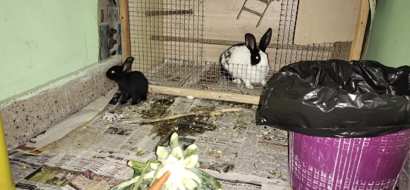 Female Adult Rabbits Home breed