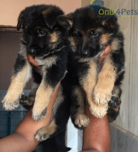 Dubal cort Gsd male puppy available
