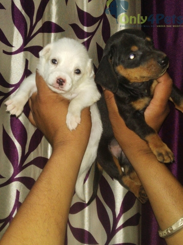 dishood and 1 Pomeranian puppy for sale