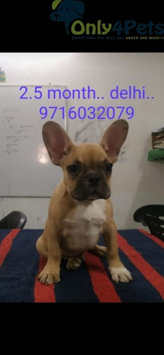 French bulldog male puppy ????