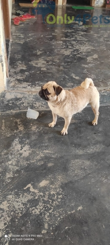 Top Quality Pug female for Sale Age 16Month