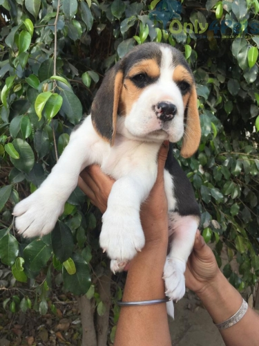 TOP QUALITY BEGAL PUPPY AVAILABLE  ????AGE 50 DAYS