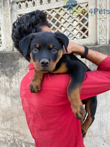3 months old rottweiler male puppy is available for sale