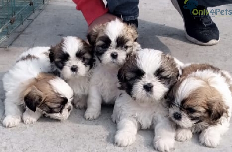 Super Quality SHIHTZU Puppy Available 3 Male 2 Female