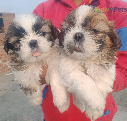 TOP QUALITY SHITHU 5 PUPPY 3 MALE 2 FEMALE AVAILABLE