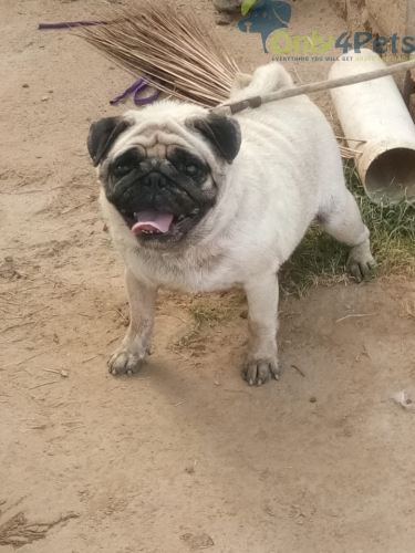 Pug female age 2 years for sale