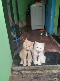 Persian cat couples for sale