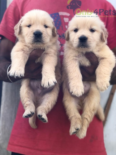 Golden retriever male puppies available