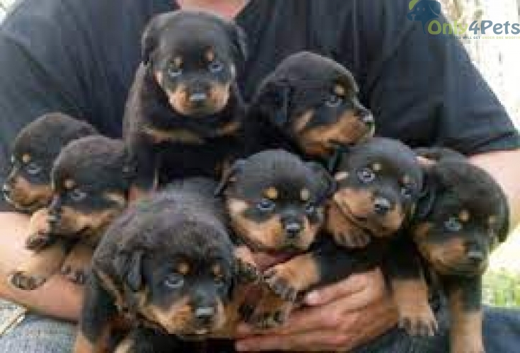 Rottweiler HeavyBone Puppy Avalible