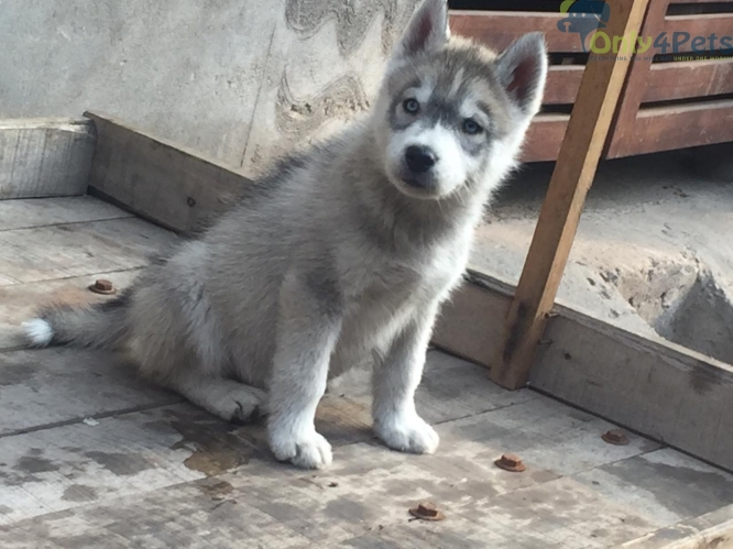 Husky Male pup blue eyes available without kci