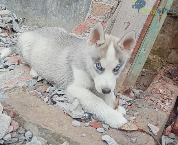 Siberian husky pair available Male blue eyes gray white