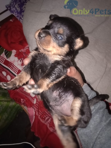 Rottweiler male and female for sale