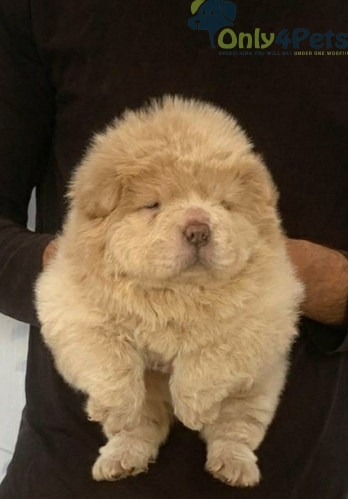 Top quality chow chow   Puppys available Show qualty puppys