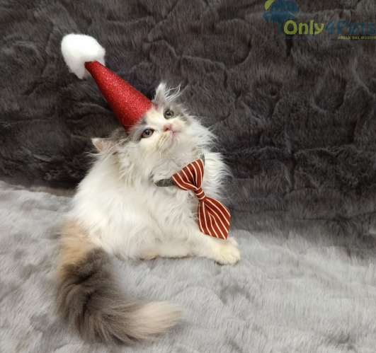 beautiful healthy import lineage persian kittens available