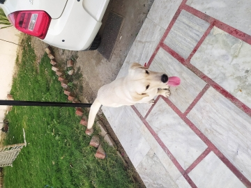 9 months Labrador white, fully vaccinated