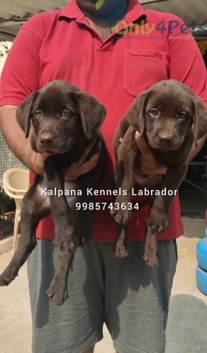 1 Chocolate Labrador Male Pup Available