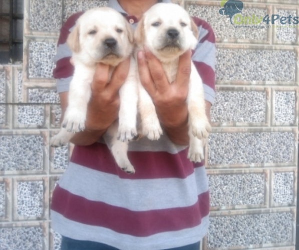 top Quality Labrador male female available.