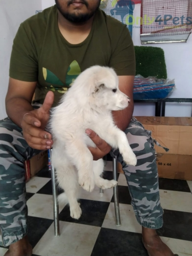 PAMERIAN MALE PUP FOR SALE AGE 35 DAYS