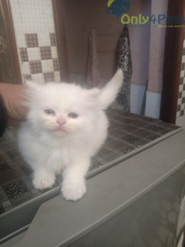 Persian Kittens For Sale????????????