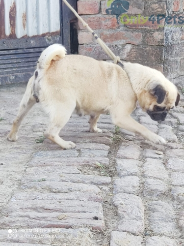 op Quality Pug female Sale Age 20Month da 2litter done Results proof