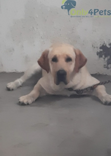 LAB STUD AVAILABLE  BOB LINE.. WITH KCI REGISTERED