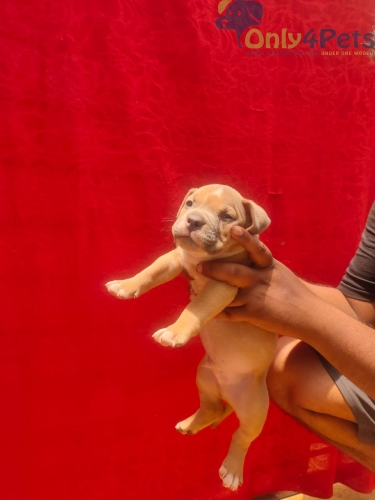 American bully low pocket two male puppy available