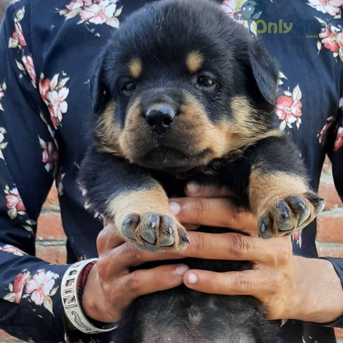 Top quality rottweiler puppies available