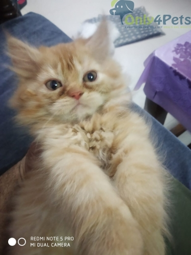 Persian Kittens For Sale Alll Colours Are Available Show Quality