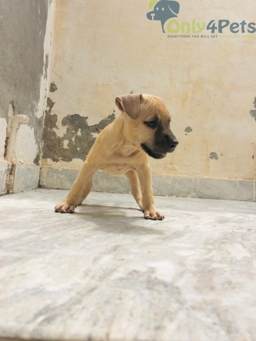 Apbt female pup for sale and exchnge
