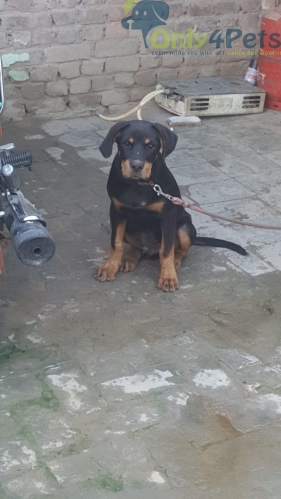 rott for sale